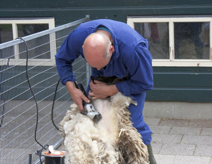 The Complete Guide to Shearing a Sheep 1
