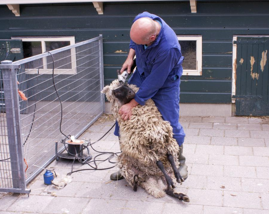 The Complete Guide to Shearing a Sheep 3
