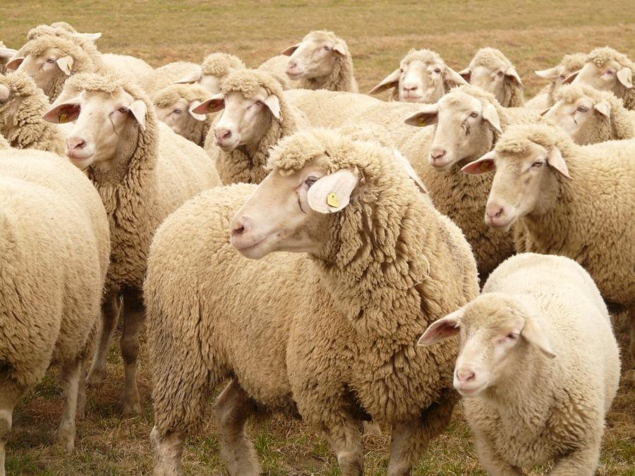 What does it Cost to Shear a sheep? We checked it for you... 4