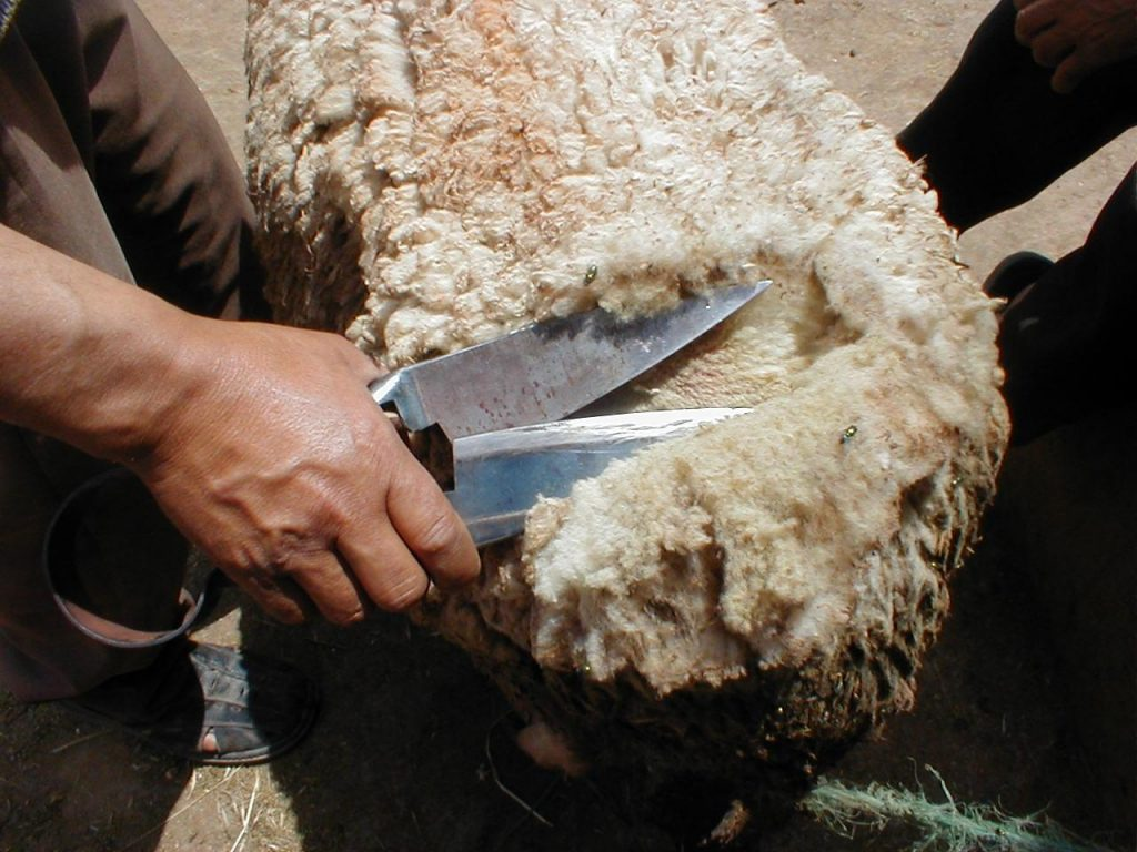 What does it Cost to Shear a sheep? We checked it for you... 2