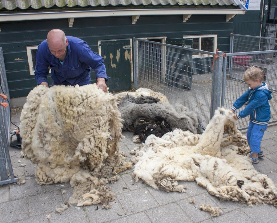 What does it Cost to Shear a sheep? We checked it for you... 3